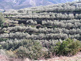 Terraces in an olive orchard